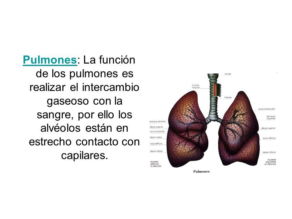 PulmonesPulmones: La función de los pulmones es realizar el intercambio gaseoso con la sangre, por ello los alvéolos están en estrecho contacto con ca