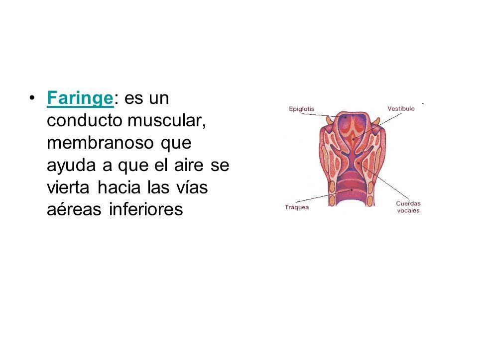 Faringe: es un conducto muscular, membranoso que ayuda a que el aire se vierta hacia las vías aéreas inferioresFaringe