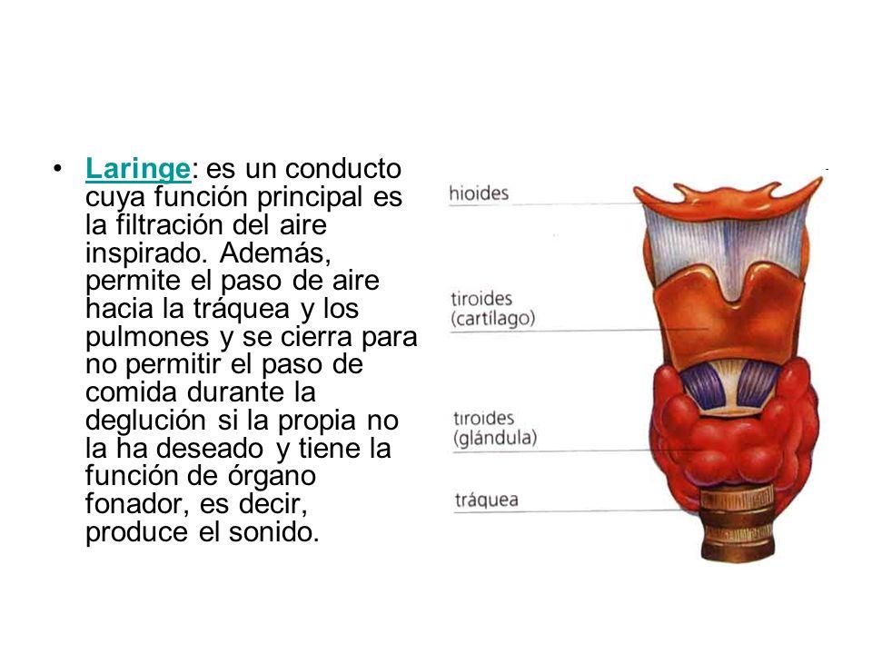 Laringe: es un conducto cuya función principal es la filtración del aire inspirado. Además, permite el paso de aire hacia la tráquea y los pulmones y