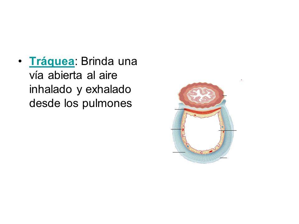 Los bronquios Los bronquios penetran dentro de los pulmones y se ramifican dentro formando los bronquiolos.