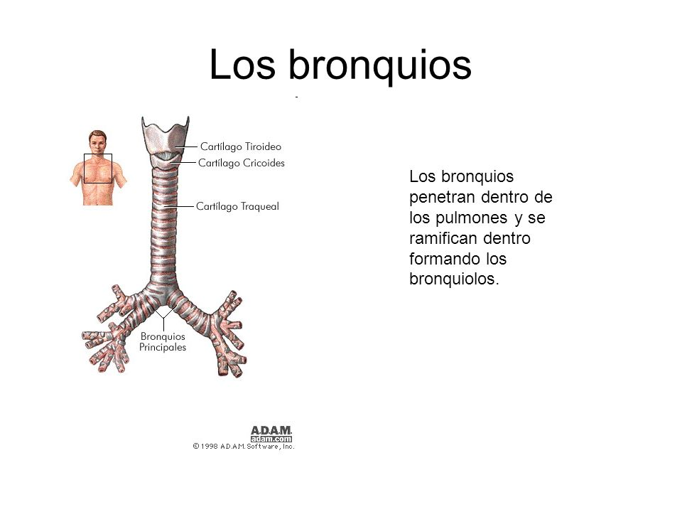 BronquioloBronquiolo: Conducir el aire que va desde los bronquios pasando por los bronquiolos y terminando en los alvéolos.