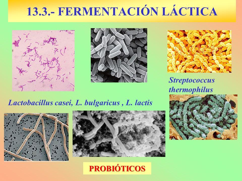 13.3.- FERMENTACIÓN LÁCTICA Lactobacillus casei, L. bulgaricus, L. lactis Streptococcus thermophilus PROBIÓTICOS