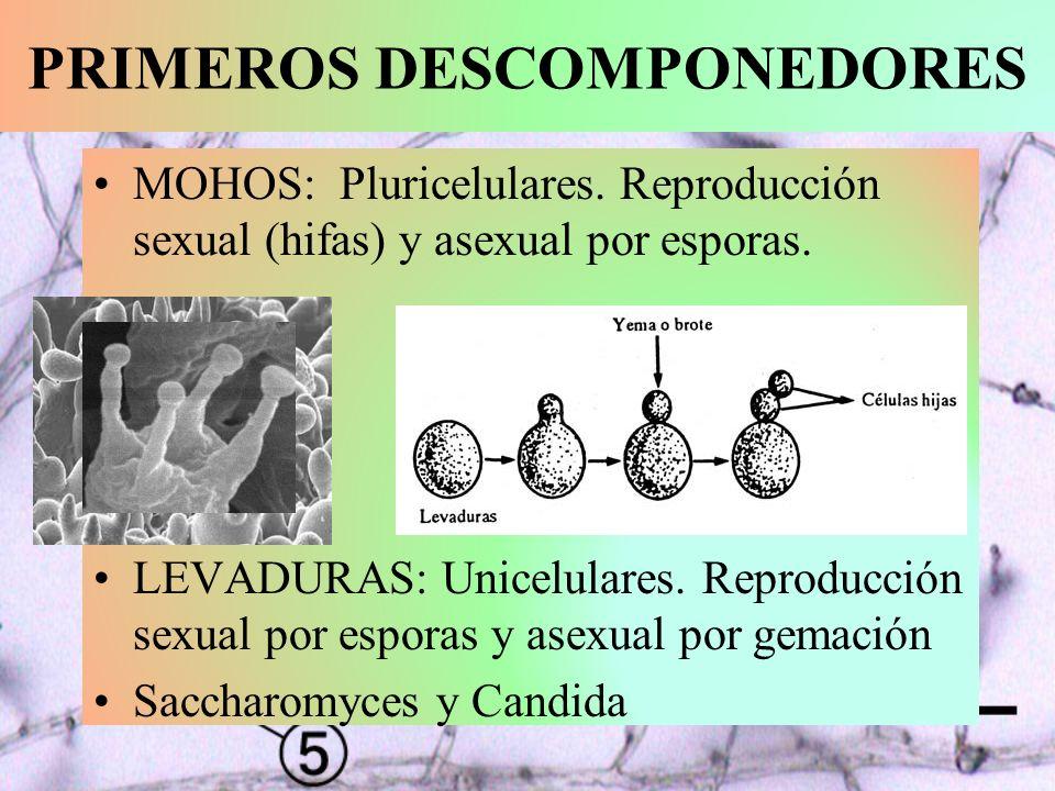 PRIMEROS DESCOMPONEDORES MOHOS: Pluricelulares. Reproducción sexual (hifas) y asexual por esporas. LEVADURAS: Unicelulares. Reproducción sexual por es