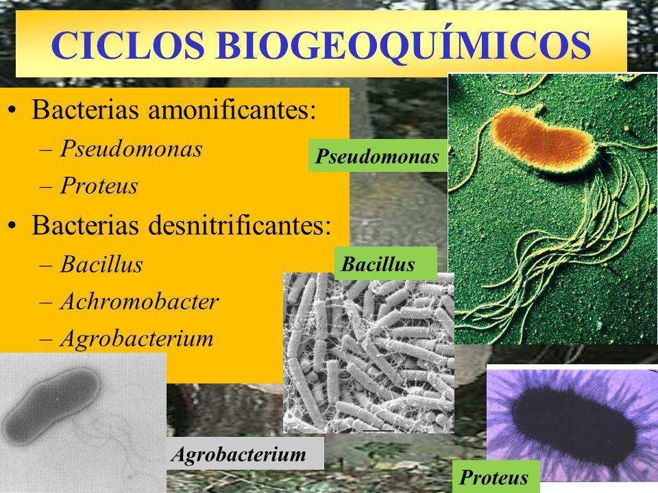 Agrobacterium CICLOS BIOGEOQUÍMICOS Bacterias amonificantes: –Pseudomonas –Proteus Bacterias desnitrificantes: –Bacillus –Achromobacter –Agrobacterium