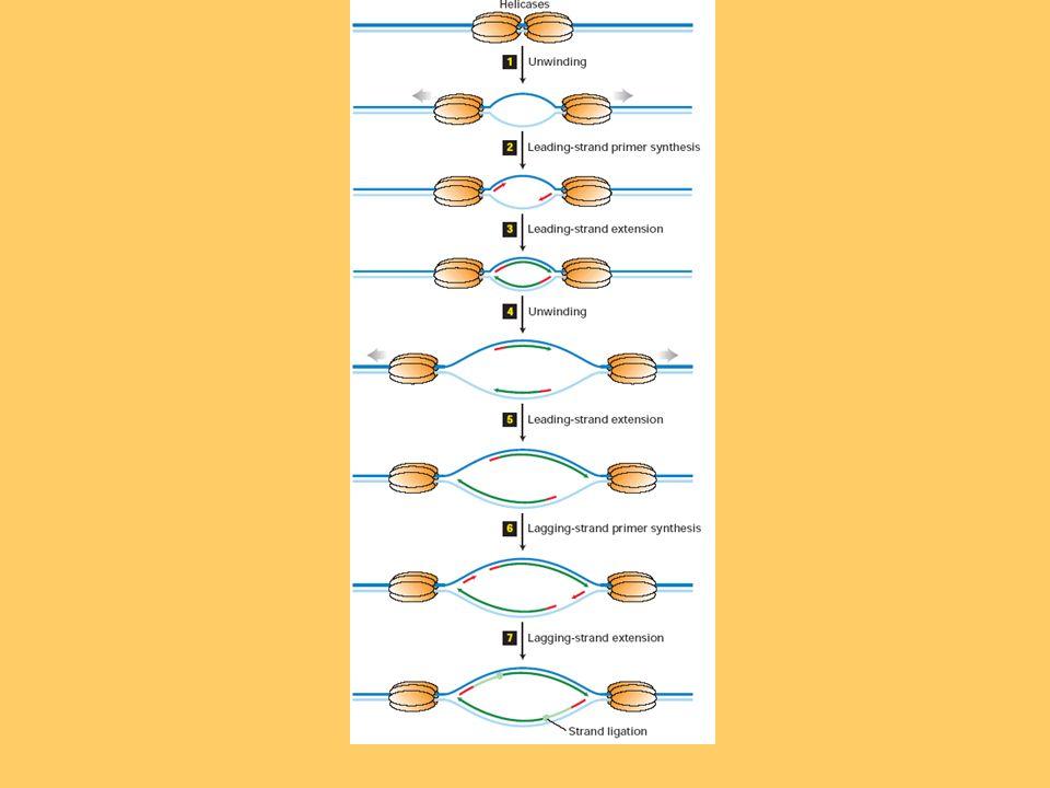 REPLICACIÓN DEL ADN EN PROCARIOTAS En las bacterias existe un solo origen de replicación, denominado Ori C y, a partir de este único punto de origen, la replicación progresa en dos direcciones, de manera que existen dos puntos de crecimiento (PC) u horquillas de replicación.