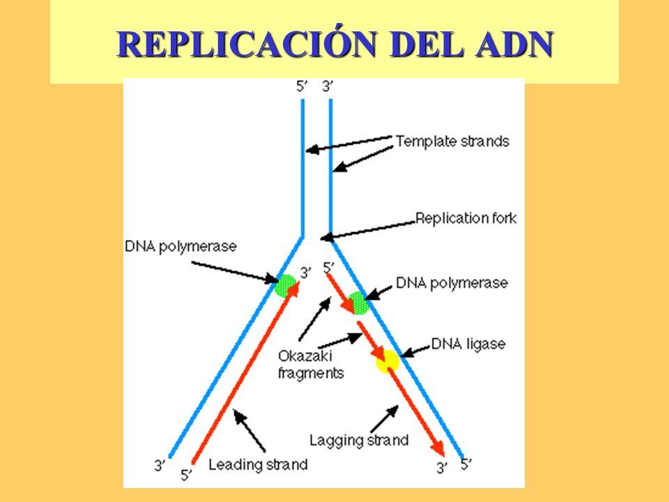 REPLICACIÓN ADN 3) TERMINACIÓN - La ADN Polimerasa I degrada los cebadores y los reemplaza por ADN complementario.