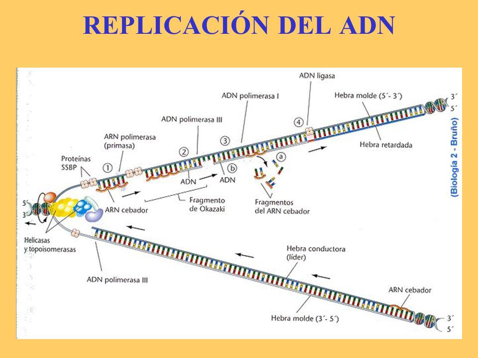 8.3.-REPLICACIÓN DEL ADN EN EUCARIOTAS Embrión fósil Muy similar a lo que ocurre en procariotas.