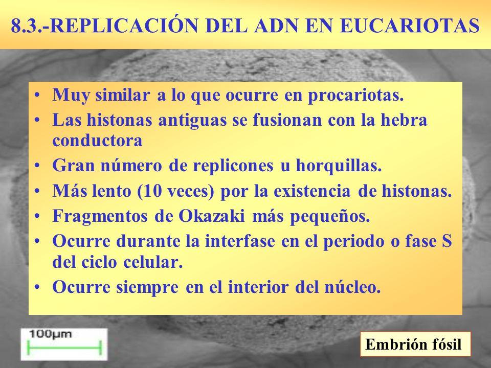 8.3.-REPLICACIÓN DEL ADN EN EUCARIOTAS Embrión fósil Muy similar a lo que ocurre en procariotas. Las histonas antiguas se fusionan con la hebra conduc