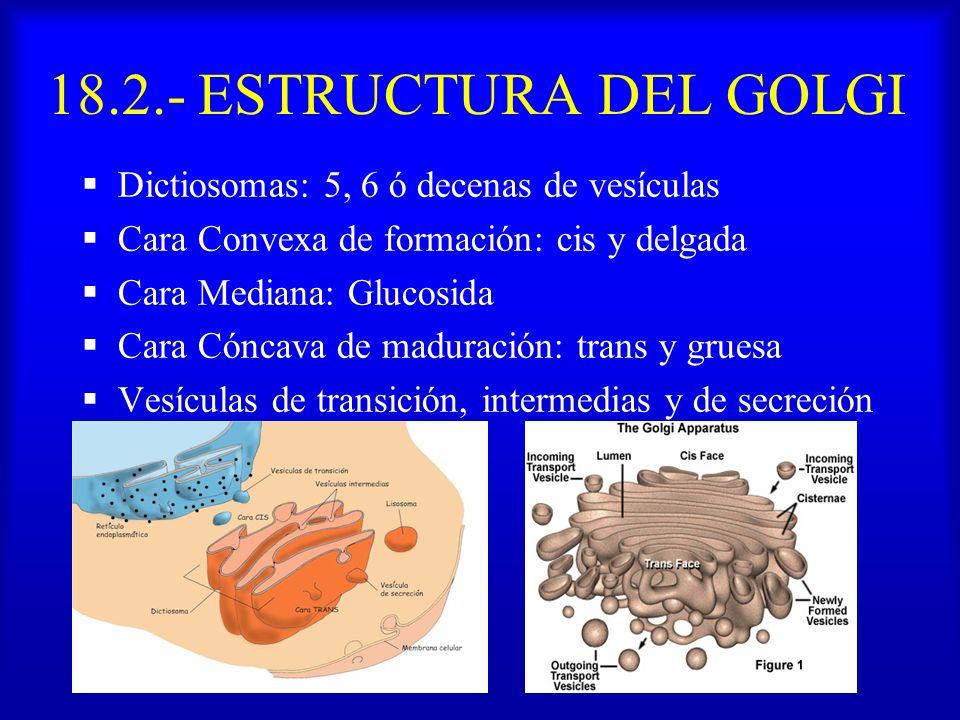18.2.- ESTRUCTURA DEL GOLGI Dictiosomas: 5, 6 ó decenas de vesículas Cara Convexa de formación: cis y delgada Cara Mediana: Glucosida Cara Cóncava de