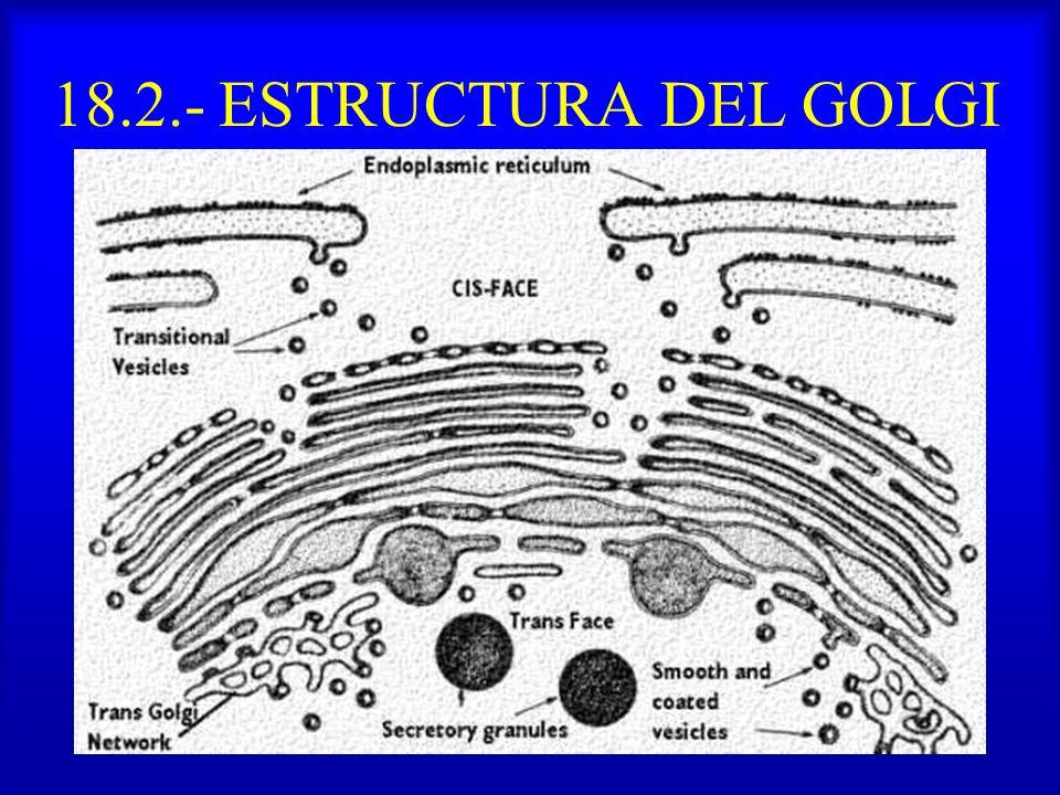 18.2.- ESTRUCTURA DEL GOLGI