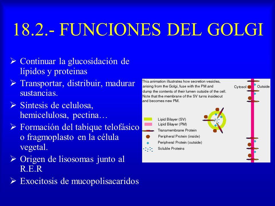 18.2.- FUNCIONES DEL GOLGI Continuar la glucosidación de lípidos y proteinas Transportar, distribuir, madurar sustancias. Síntesis de celulosa, hemice
