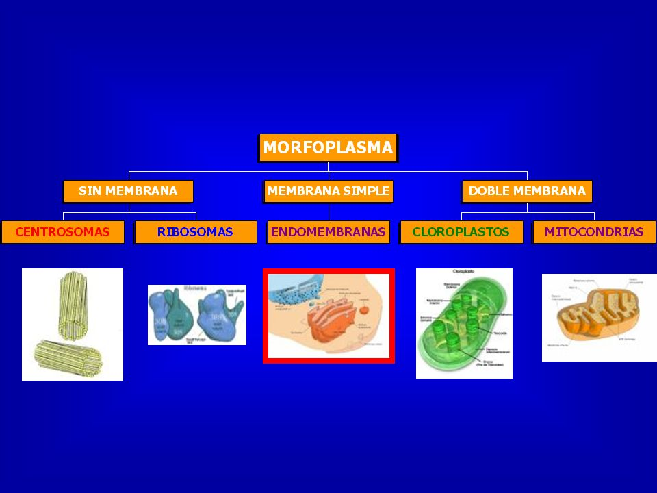 TIPOS DE LISOSOMAS SECUNDARIO HETEROLISOSOMA C. RESIDUAL AUTOLISOSOMA PRIMARIO