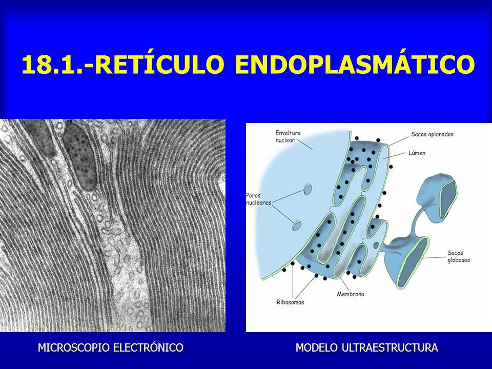 18.2.- ESTRUCTURA DEL GOLGI Dictiosomas: 5, 6 ó decenas de vesículas Cara Convexa de formación: cis y delgada Cara Mediana: Glucosida Cara Cóncava de maduración: trans y gruesa Vesículas de transición, intermedias y de secreción