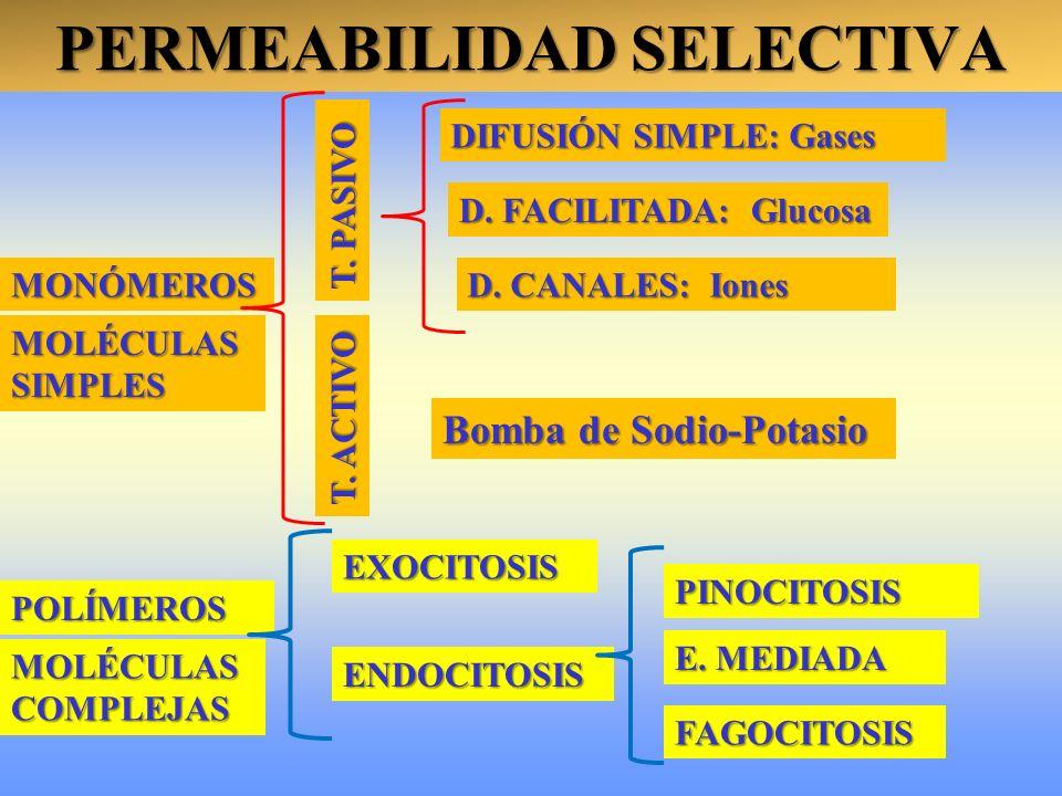 PERMEABILIDAD SELECTIVA PINOCITOSIS ENDOCITOSIS EXOCITOSIS T. PASIVO D. FACILITADA: Glucosa DIFUSIÓN SIMPLE: Gases MONÓMEROS MOLÉCULAS SIMPLES MOLÉCUL