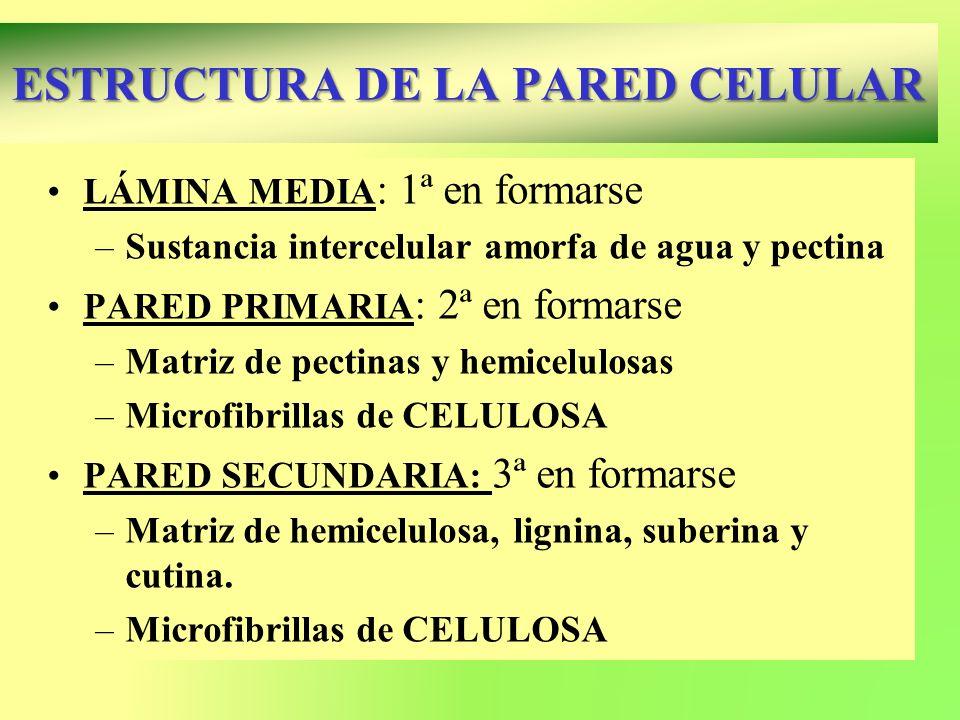 LÁMINA MEDIA : 1ª en formarse –Sustancia intercelular amorfa de agua y pectina PARED PRIMARIA : 2ª en formarse –Matriz de pectinas y hemicelulosas –Mi