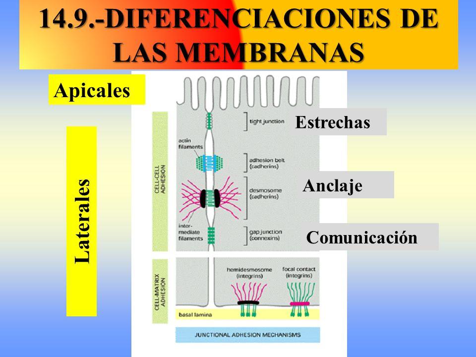 Apicales Laterales Estrechas Comunicación Anclaje 14.9.-DIFERENCIACIONES DE LAS MEMBRANAS