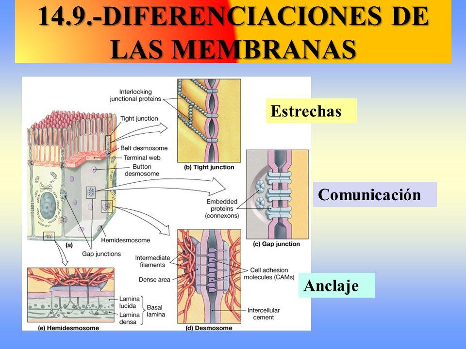 Comunicación 14.9.-DIFERENCIACIONES DE LAS MEMBRANAS Estrechas Anclaje
