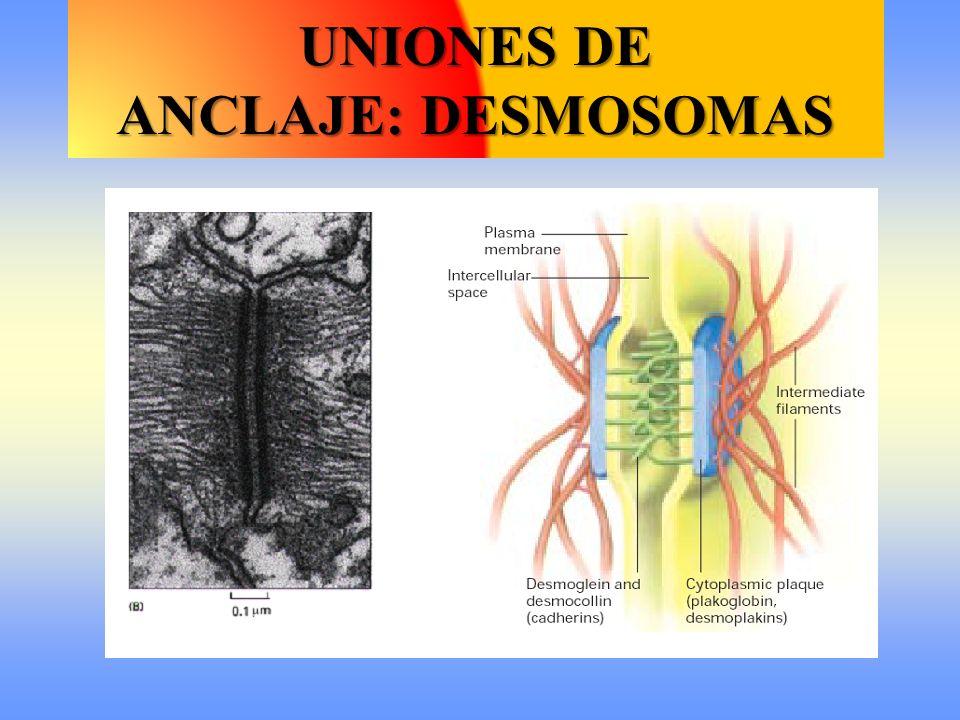 UNIONES DE ANCLAJE: DESMOSOMAS