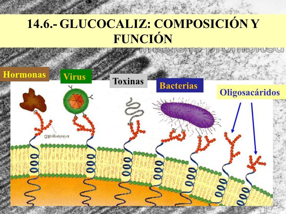 14.6.- GLUCOCALIZ: COMPOSICIÓN Y FUNCIÓN Oligosacáridos Bacterias Toxinas Virus Hormonas