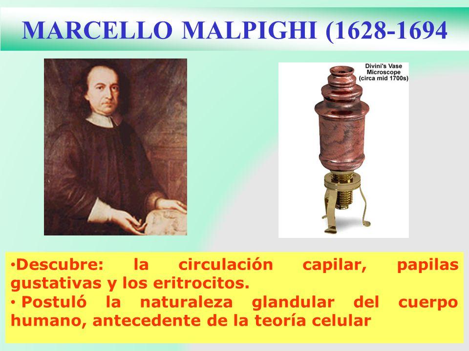 MARCELLO MALPIGHI (1628-1694 Descubre: la circulación capilar, papilas gustativas y los eritrocitos. Postuló la naturaleza glandular del cuerpo humano