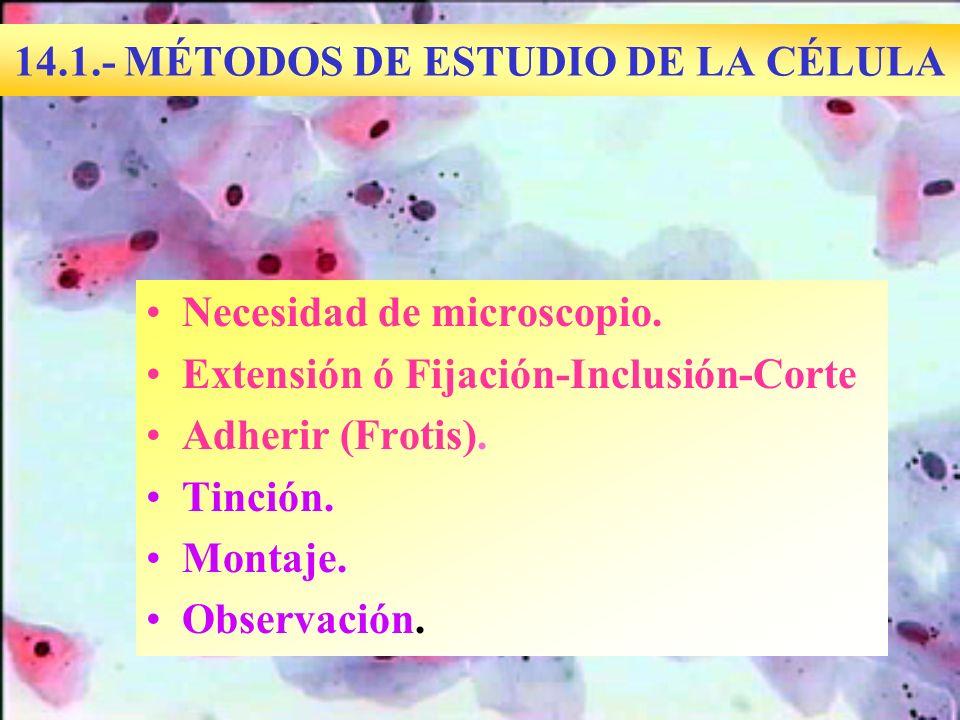 14.1.- MÉTODOS DE ESTUDIO DE LA CÉLULA Necesidad de microscopio. Extensión ó Fijación-Inclusión-Corte Adherir (Frotis). Tinción. Montaje. Observación.