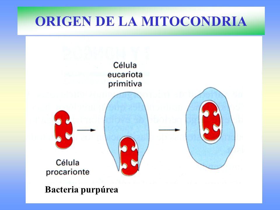 Bacteria purpúrea ORIGEN DE LA MITOCONDRIA