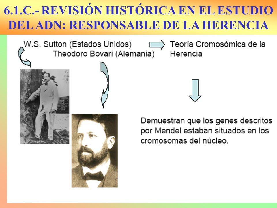 Sutton y Boveri: 1902 Localización de genes en los cromosomas Morgan: 1911: Herencia ligada al sexo.
