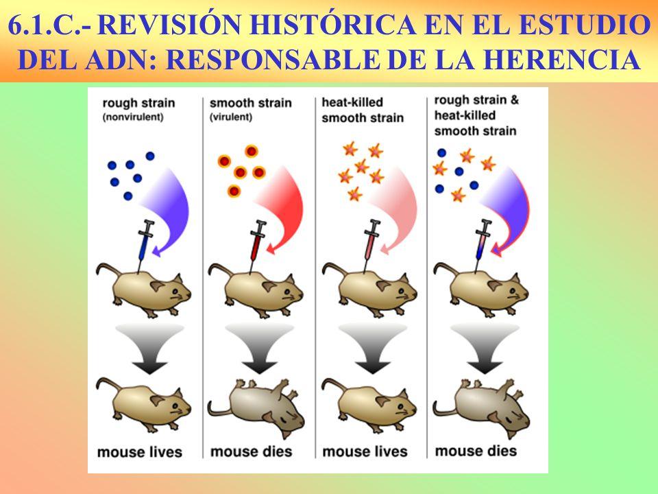 Avery, McLeod y McCarthy: 1944 El principio transformador era el ADN al usar exonucleasas Hershey y Martha Chase: 1954 : Bacteriofagos marcados con isótopos radiactivos P 32 y S 35
