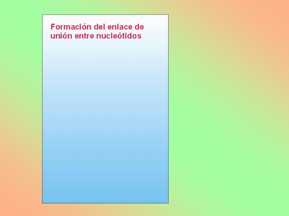 ESTRUCTURA PRIMARIA 6.4.- ESTRUCTURA, CARACTERÍSTICAS Y FUNCIÓN DEL ADN Secuencia lineal (número, posición y tipos) de DESOXIRRIBONUCLEOTIDOS, unidos por enlaces 3`-5´ fosfodiester