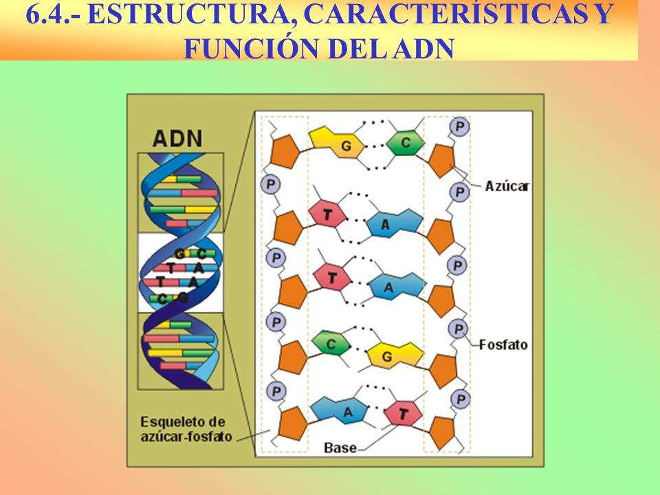 6.4.- CARACTERÍSTICAS DE LA ESTRUCTURA SECUNDARIA DEL ADN Dos cadenas de polinucleótidos de 20 Amstrong de grosor y 34 de longitud Enrolladas en doble hélice dextrógira Antiparalelas (3´--5´ y 5´-- 3´) Complementarias (Chargaff) Bases nitrogenadas en el interior y perpendiculares al esqueleto externo de pentosa-fosfato.