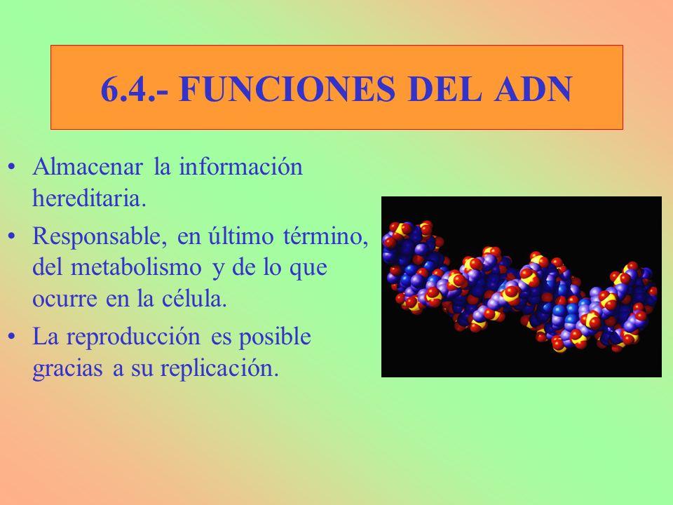 6.4.- FUNCIONES DEL ADN Almacenar la información hereditaria. Responsable, en último término, del metabolismo y de lo que ocurre en la célula. La repr