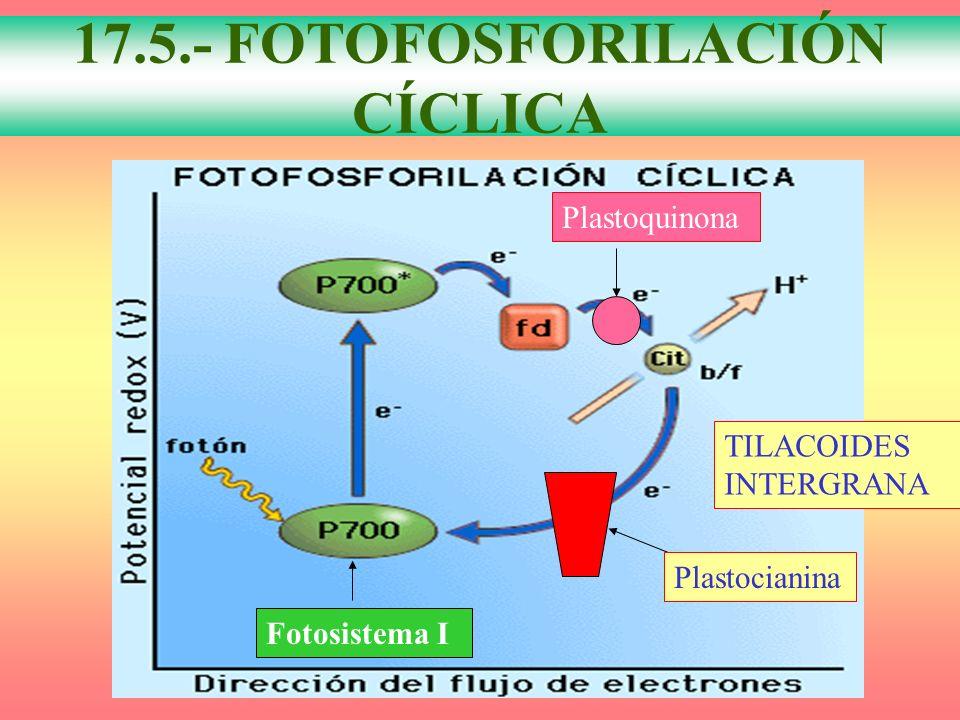 FOTOFOSFORILACIÓN CÍCLICA 17.5.- FOTOFOSFORILACIÓN CÍCLICA Plastocianina Plastoquinona Fotosistema I TILACOIDES INTERGRANA