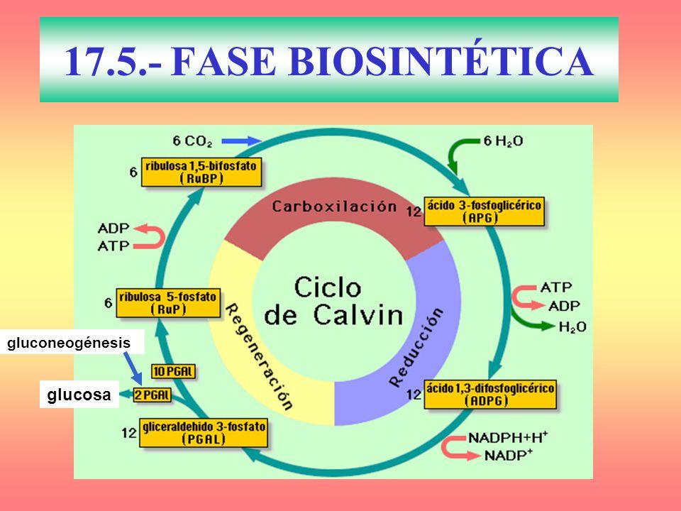 gluconeogénesis glucosa 17.5.- FASE BIOSINTÉTICA