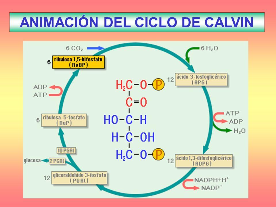 ANIMACIÓN DEL CICLO DE CALVIN