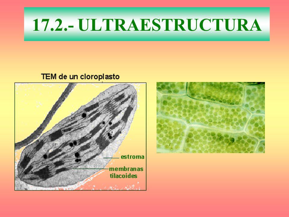 17.2.- ULTRAESTRUCTURA