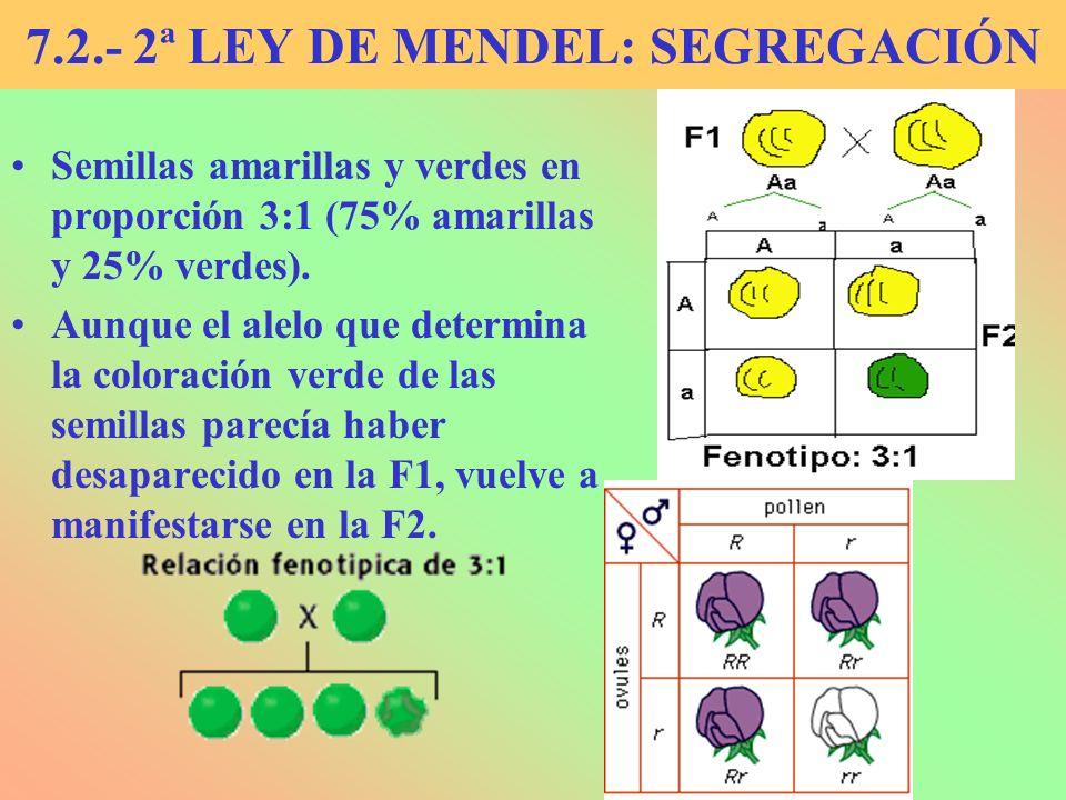 7.2.- 2ª LEY DE MENDEL: SEGREGACIÓN Semillas amarillas y verdes en proporción 3:1 (75% amarillas y 25% verdes). Aunque el alelo que determina la color