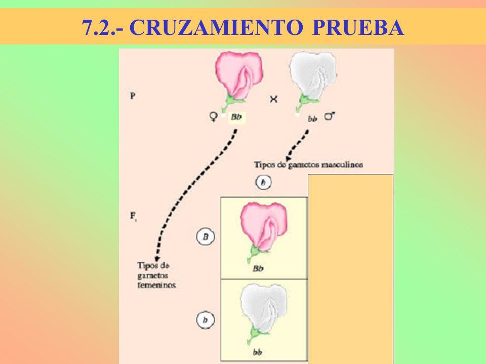 7.2.- CRUZAMIENTO PRUEBA