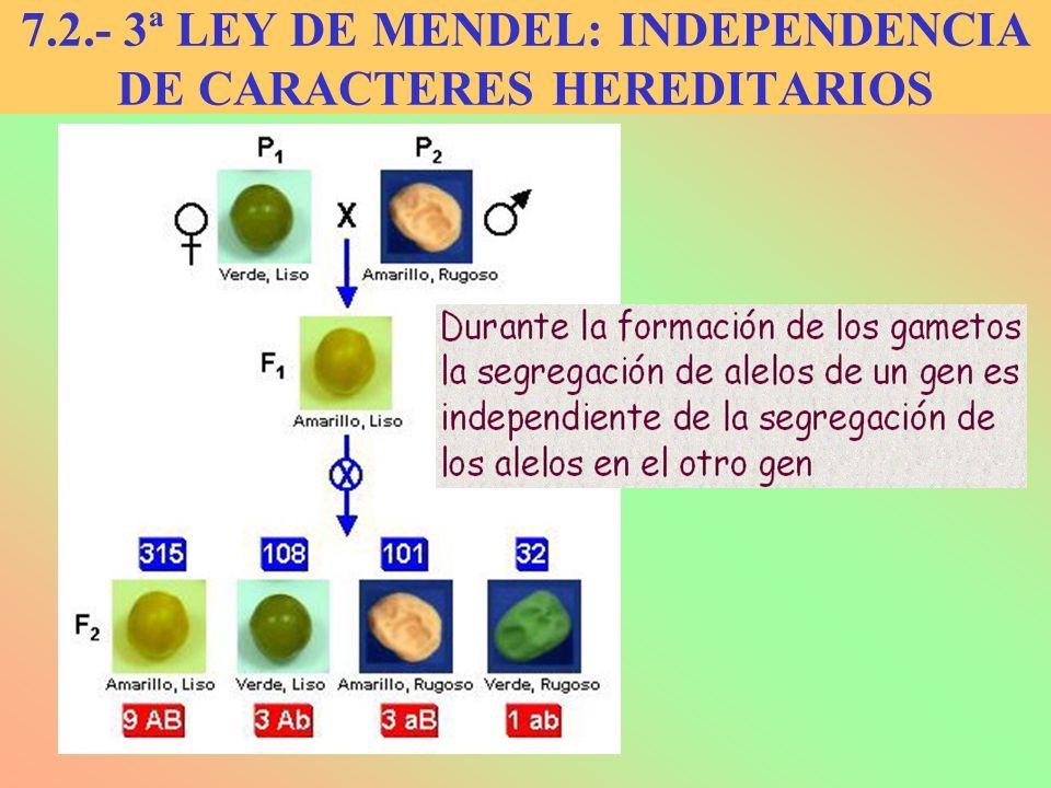 7.2.- 3ª LEY DE MENDEL: INDEPENDENCIA DE CARACTERES HEREDITARIOS