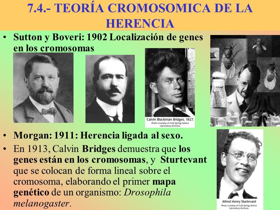 Sutton y Boveri: 1902 Localización de genes en los cromosomas Morgan: 1911: Herencia ligada al sexo. En 1913, Calvin Bridges demuestra que los genes e