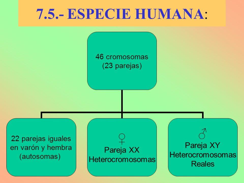 7.5.- ESPECIE HUMANA: 46 cromosomas (23 parejas) 22 parejas iguales en varón y hembra (autosomas) Pareja XX Heterocromosomas Pareja XY Heterocromosoma