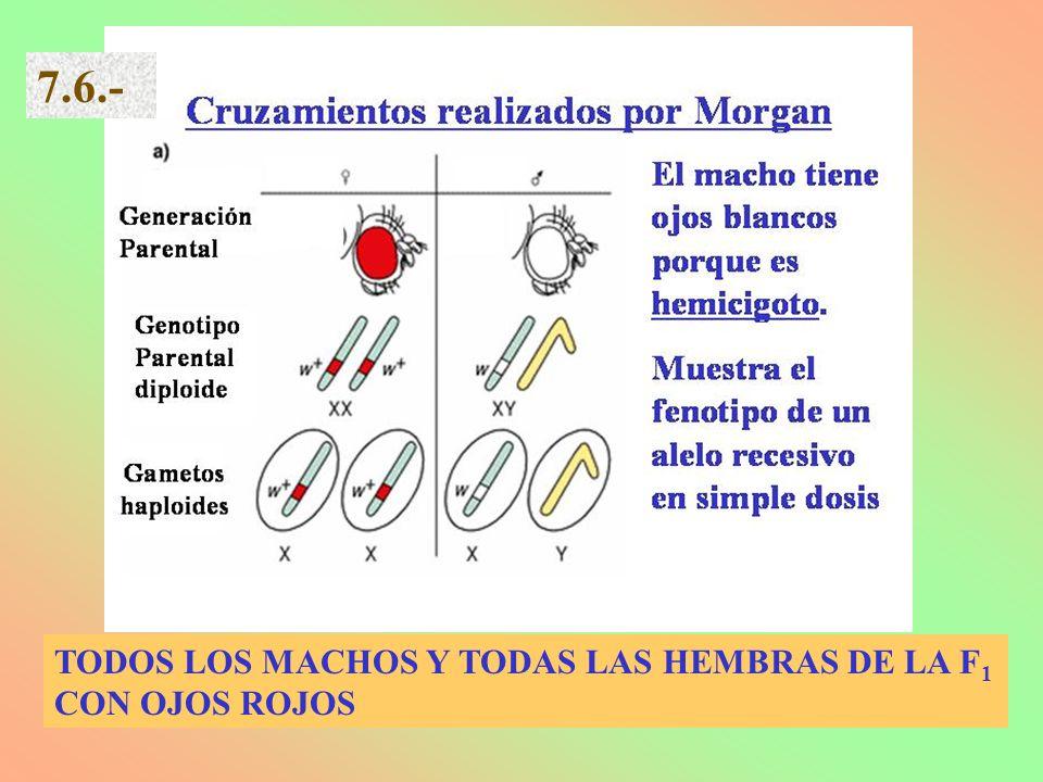 TODOS LOS MACHOS Y TODAS LAS HEMBRAS DE LA F 1 CON OJOS ROJOS 7.6.-