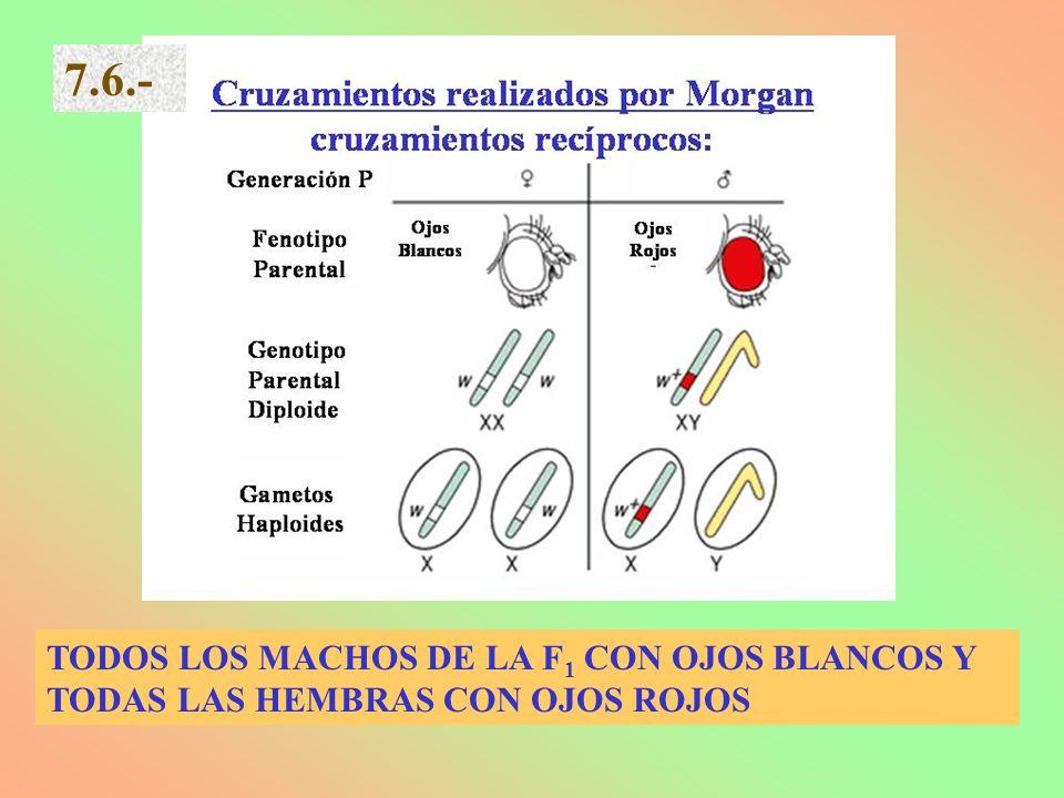 TODOS LOS MACHOS DE LA F 1 CON OJOS BLANCOS Y TODAS LAS HEMBRAS CON OJOS ROJOS 7.6.-
