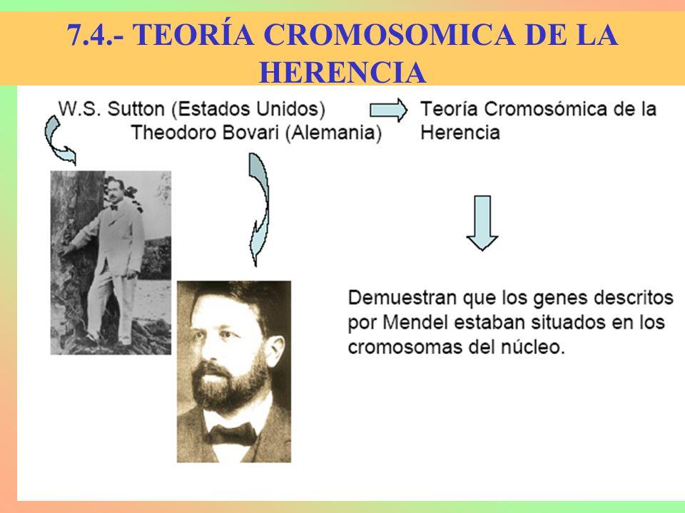 SUTTON Y BOVERI EN 1902 YA LO ADELANTARON 1.- Los genes se localizan en los cromosomas.