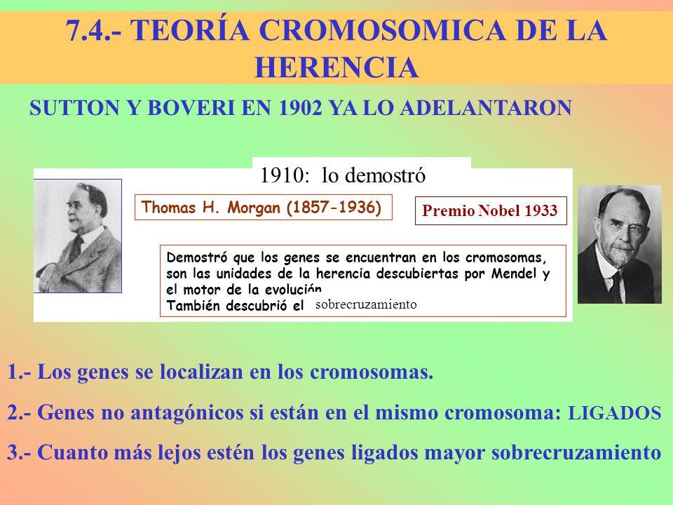 SUTTON Y BOVERI EN 1902 YA LO ADELANTARON 1.- Los genes se localizan en los cromosomas. 2.- Genes no antagónicos si están en el mismo cromosoma: LIGAD