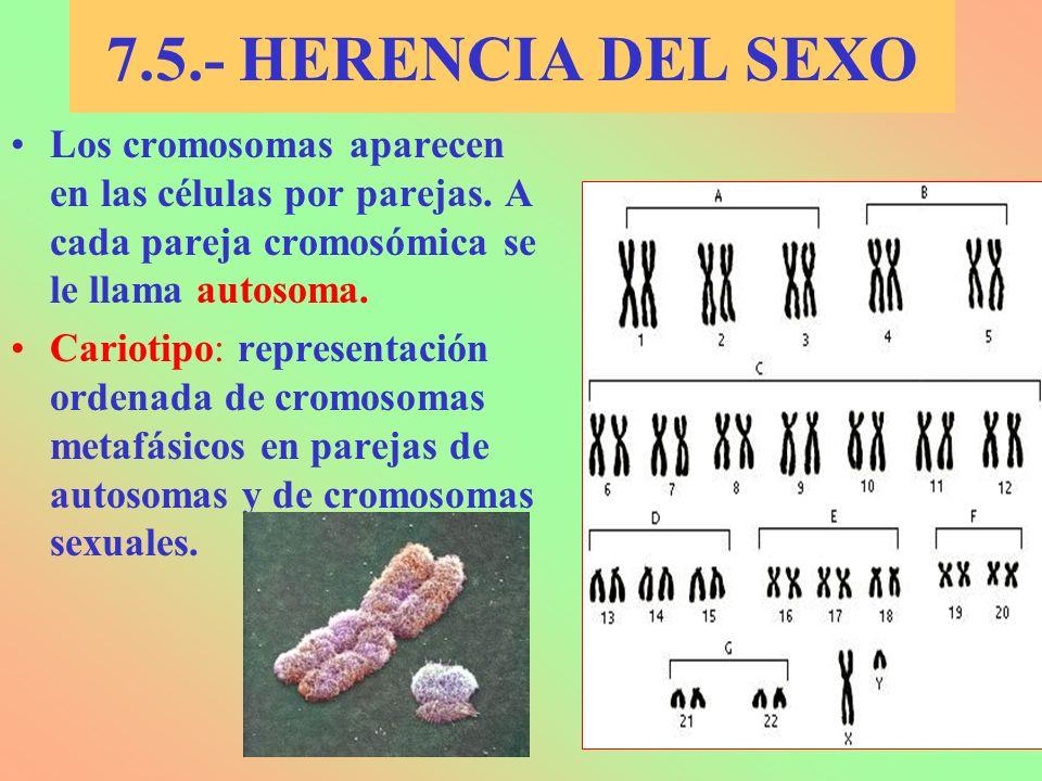 7.5.- HERENCIA DEL SEXO Los cromosomas aparecen en las células por parejas. A cada pareja cromosómica se le llama autosoma. Cariotipo: representación