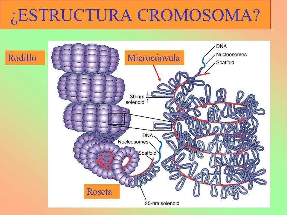¿ESTRUCTURA CROMOSOMA? Rodillo Roseta Microcónvula