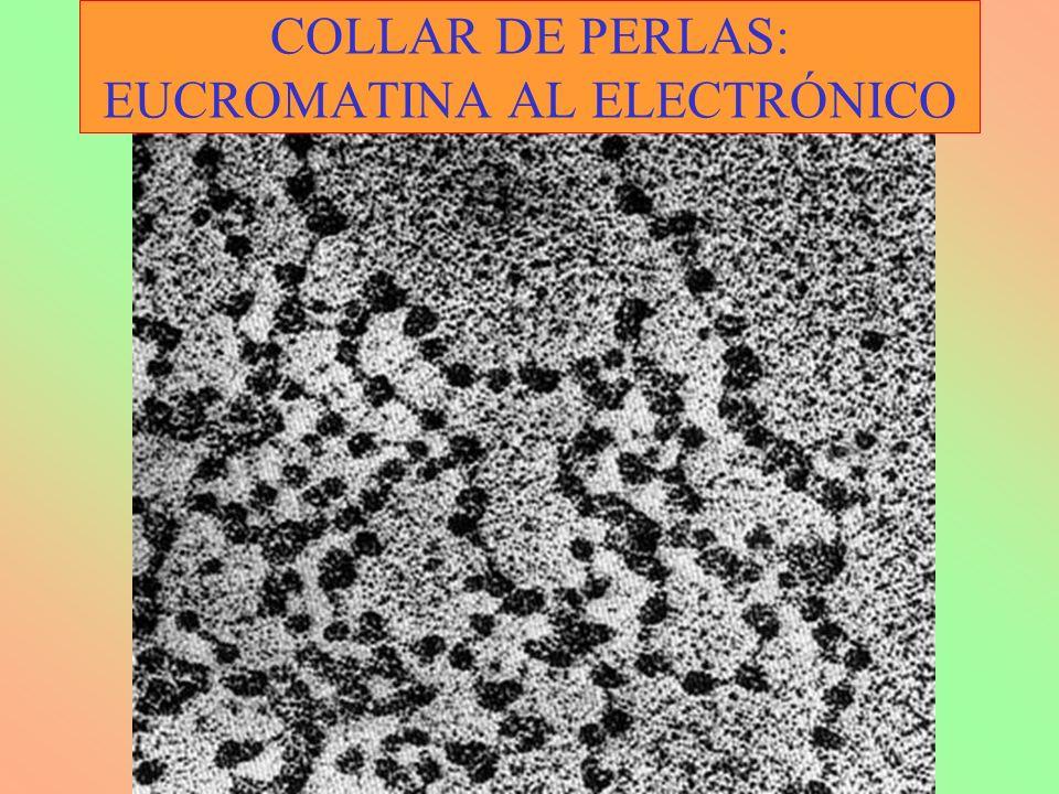 COLLAR DE PERLAS: EUCROMATINA AL ELECTRÓNICO
