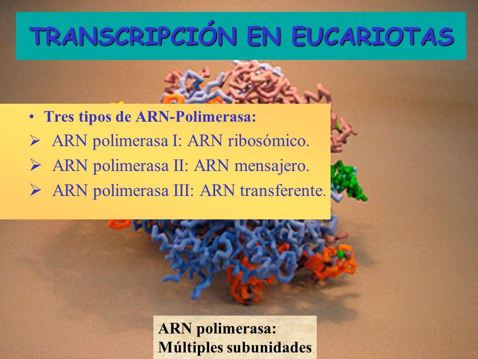 Tres tipos de ARN-Polimerasa: ARN polimerasa I: ARN ribosómico. ARN polimerasa II: ARN mensajero. ARN polimerasa III: ARN transferente. TRANSCRIPCIÓN