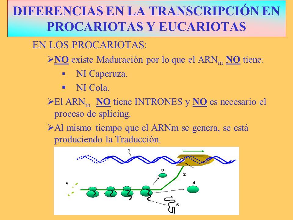 DIFERENCIASPROCARIOTASEUCARIOTAS LOCALIZACIÓNALREDEDOR GENÓFORO NÚCLEO ENZIMASSOLO 1: ARN POLIMERASA VARIAS ARN POLIMERASAS FASES INICIA ELONGA Y FINALIZACIÓN CUATRO: MADURACIÓN TIPO ARN m POLICISTRÓNICO RESISTENTE MONOCISTRÓNICO FRÁGIL COMPARACIÓN TRANSCRIPCIÓN PROCA-EUCARIOTA