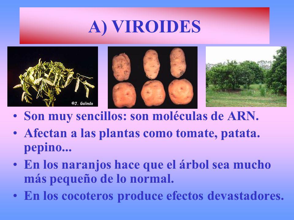 A) VIROIDES Son muy sencillos: son moléculas de ARN. Afectan a las plantas como tomate, patata. pepino... En los naranjos hace que el árbol sea mucho